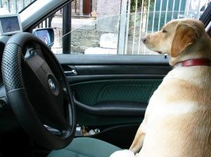 Trixy,  a sofőr... :) (A kutya az autista gyermekek vezetője lesz majd)