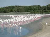 My favorite place in Dubai: wildlife sanctuary. Flamingos relaxing…