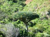 A híres helyi fa...