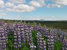 Jocó azt mondta, ezek az izlandi pipacsok. Az is maradt a nevük