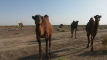 Camels approached our car. Unfortunately we didn't have food for them. I felt bad: we fooled them…