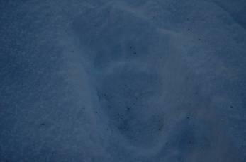 Sok medvenyomot láttunk, ennek a macinak volt a legnagyobb a lábikája