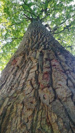 Nem túlzás: 600 éves fa. Az erdő egyike Európa utolsó fennmaradt őserdeinek, magterülete szigorú védelem alatt áll