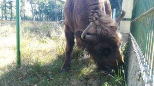 Fehéroroszország nemzeti szimbóluma a bölény, amely már csak egyedül itt él Európában természetes körülmények között